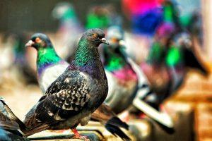 Caccia ai piccioni, una storia italiana