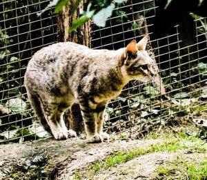 Felis Silvestris Lybica, il padre dei gatti