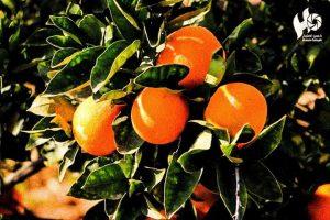 Arancia, tesoro palestinese