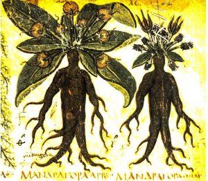 Mandrake, the human plant