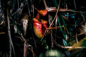Nepenthes, the carnivorous plants of Borneo