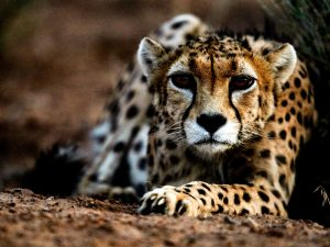 The Persian cheetah