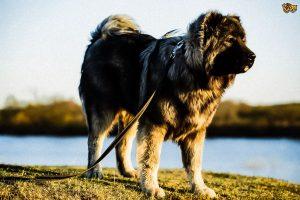 Il cane da pastore del Caucaso