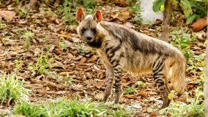 La iena striata, spazzina del Medio Oriente